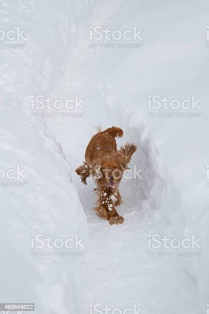 Spaniel in the snow picture id465649522?b=1&k=6&m=465649522&s=612x612&h=7zj4vzqyvzxnsxea10wquaj29xorbwzmjvz1n5lsjt0=