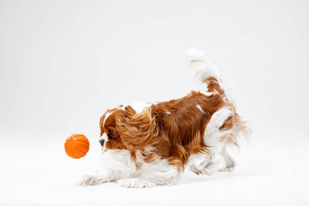 Spaniel is playing on the white background picture id1146493454?b=1&k=6&m=1146493454&s=612x612&w=0&h=d lvgzmeuyb akilhbt228t51z9zsawqwlqpne5ddqg=