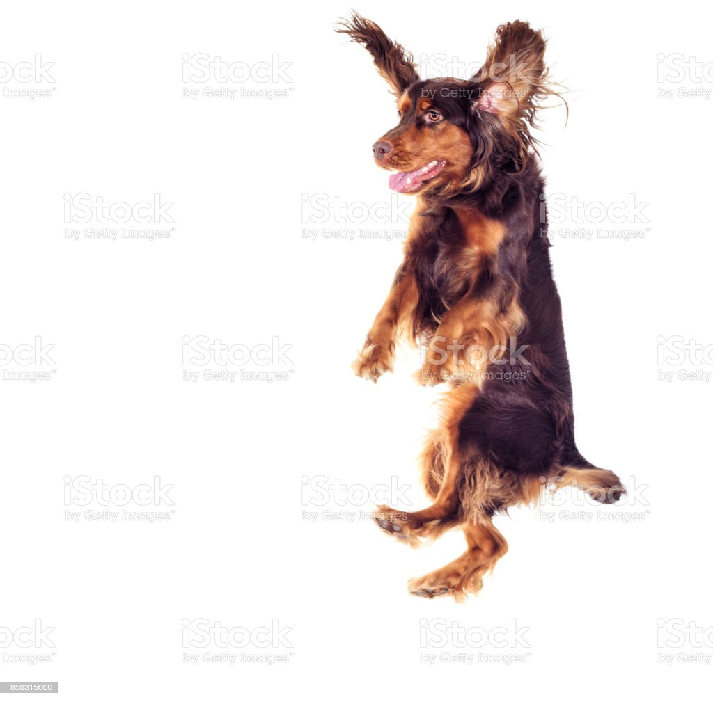 Spaniel jumping up on a white background stock photo