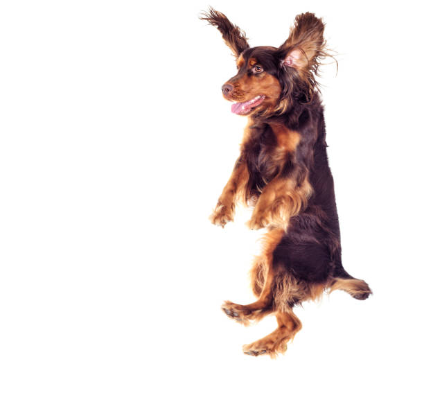 spaniel jumping up on a white background - dog jumping stock photos and pictures
