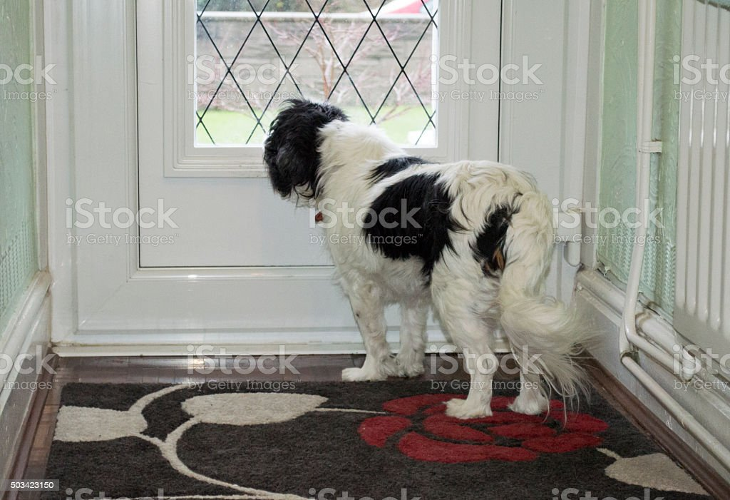 Spaniel looking out of a glass window in the door - Royalty-free Animal Stock Photo