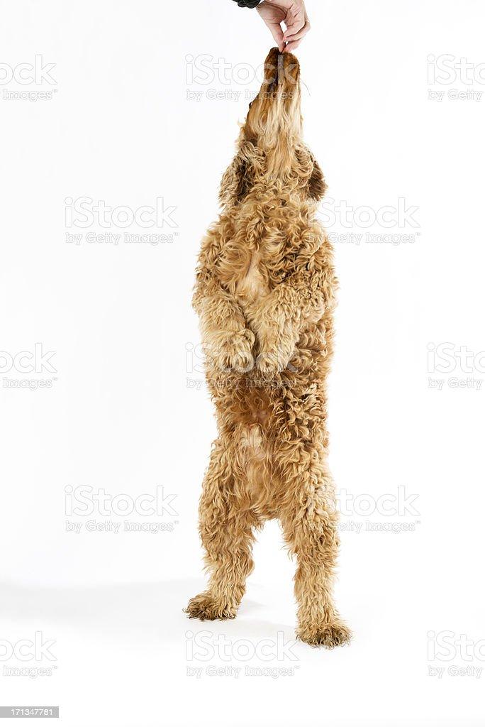 Spaniel stock photo