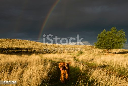 This photo has not been over processed this is exactly how the scene looked.A spaniel dog runs through a field with a rainbow behind