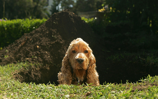 Cocker spaniel sitting in hole that they dug up with head peeking out.