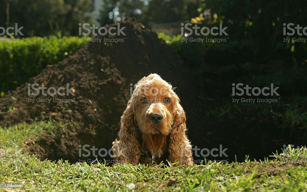 Spaniel sitting in hole dug in lawn stock photo