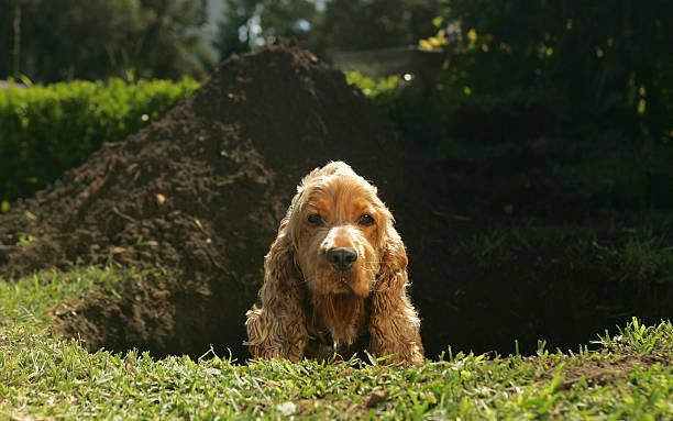 spaniel sitting in hole dug in lawn - graven stockfoto's en -beelden