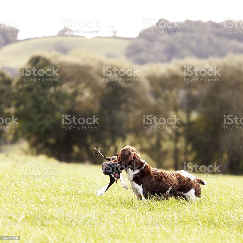 Spaniel with pheasant royalty-free stock photo