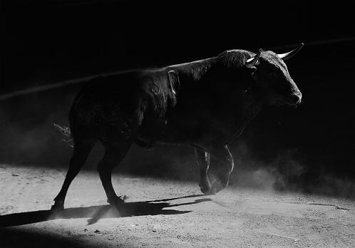 Spanish black bull