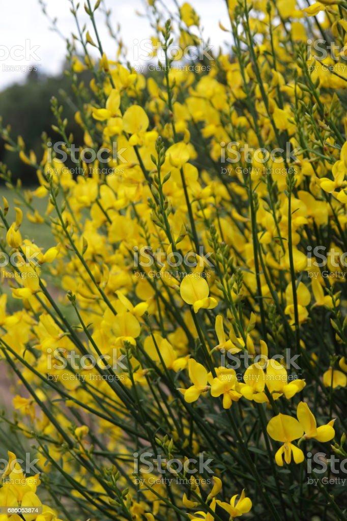 Spanish Broom Weavers Broom Bloom Stock Download