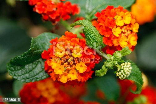 Lantana camara is also known as red sage or Spanish Flag and is native to Central and South America. It is a favorite species for butterflies.