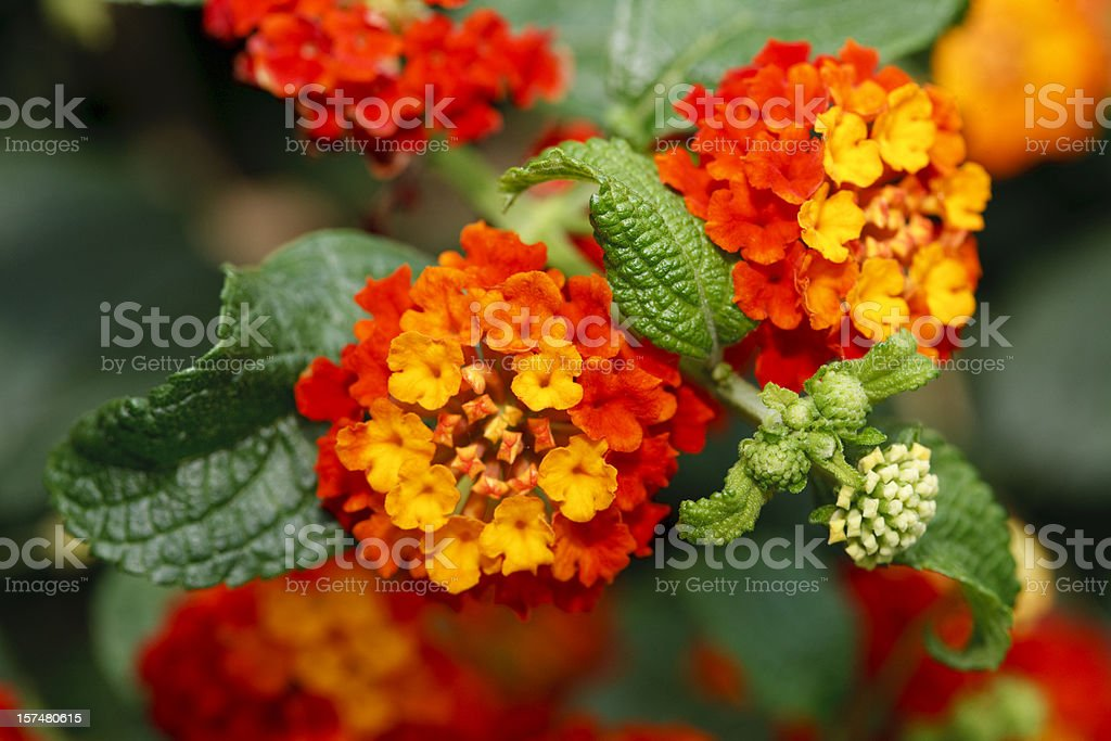 Spanish Flag (Lantana camara) stock photo