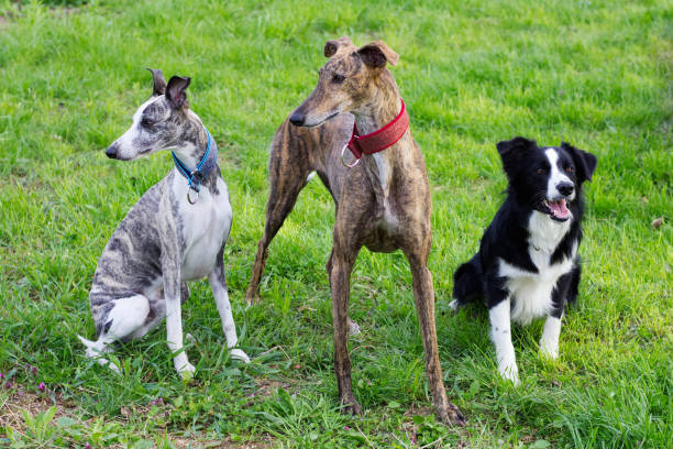 Spanish Galgo, Border Collie and Whippet waiting for a command. Group of dogs in the park whippet stock pictures, royalty-free photos & images
