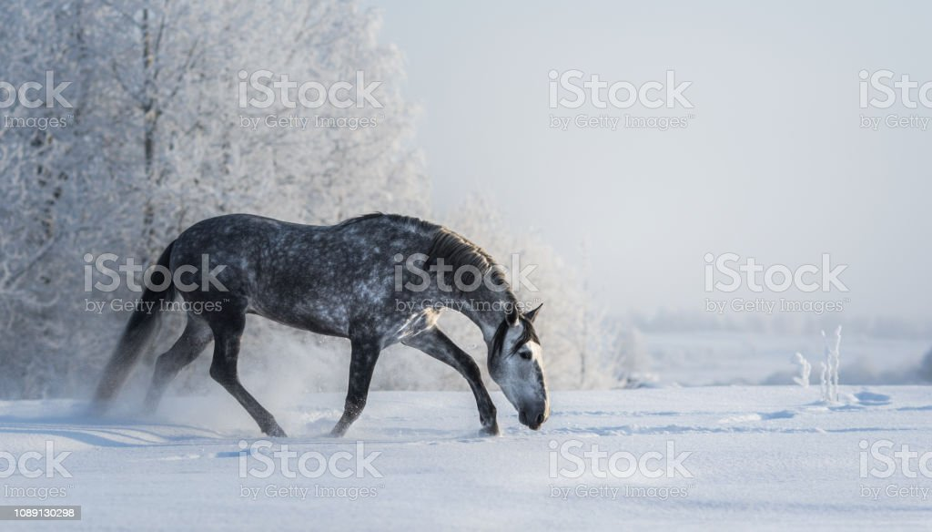Spanish gray horse walks on freedom at winter time. stock photo