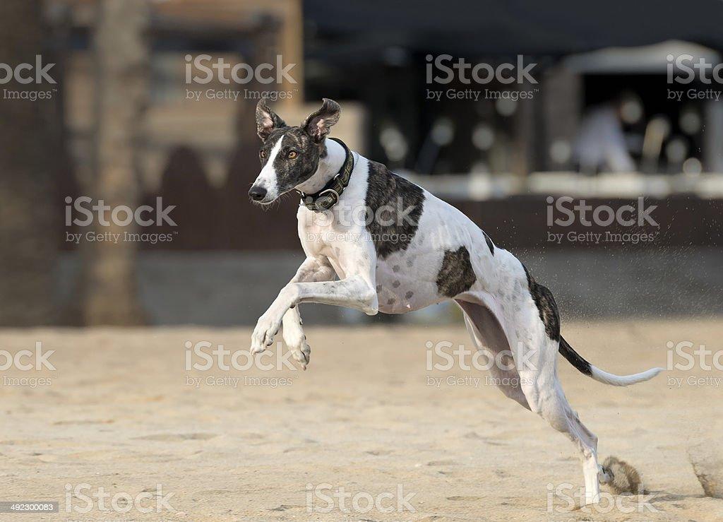 Spanish greyhound dog running at the beach stock photo