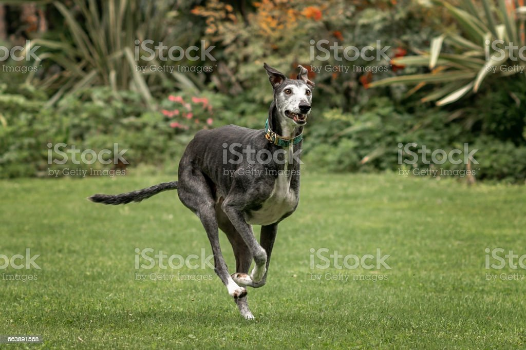 Spanish Greyhound (Canis familiaris) playing stock photo