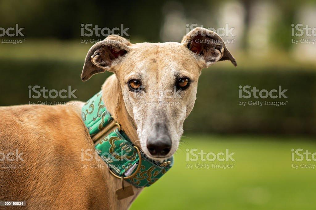 Spanish Greyhound (Canis familiaris) portrait stock photo