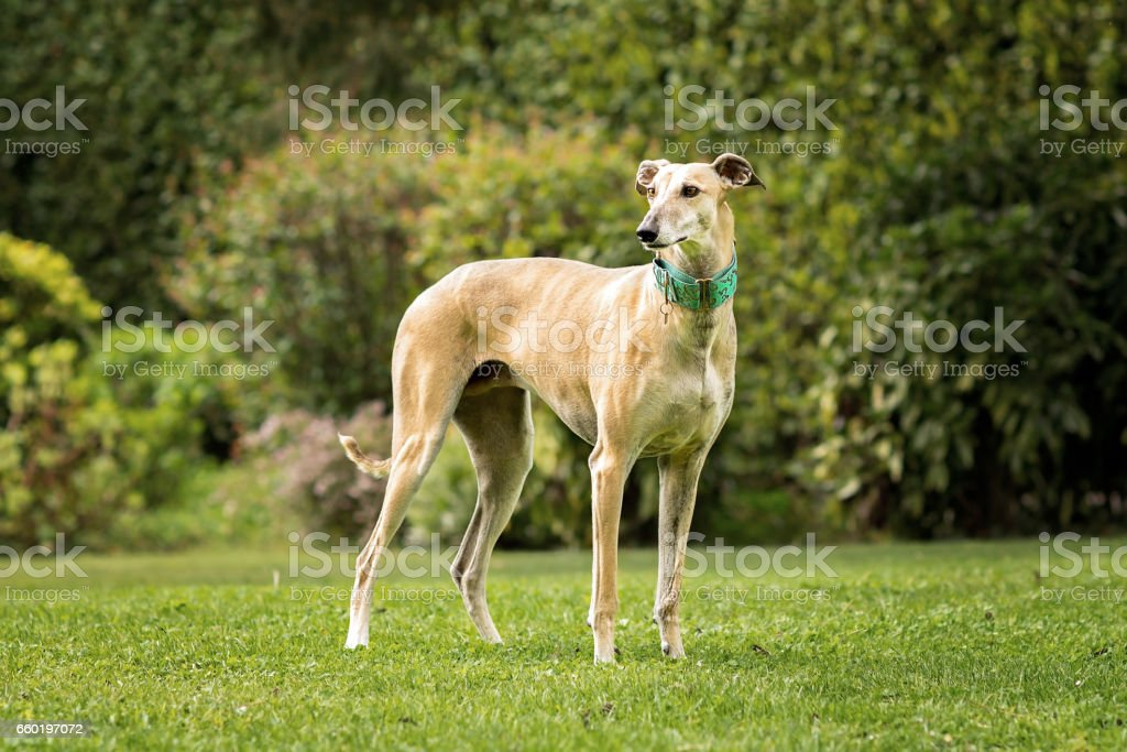 Spanish Greyhound (Canis familiaris) standing in the park stock photo