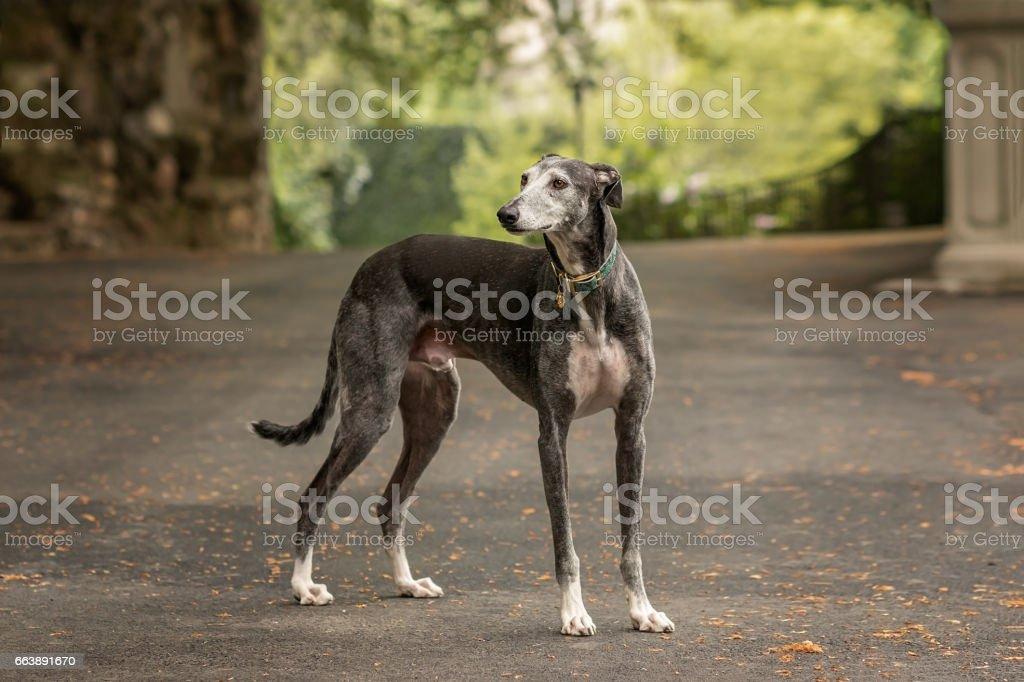 Spanish Greyhound (Canis familiaris) standing stock photo