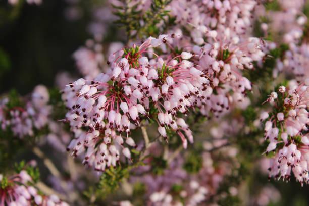 Spanish Heath (Erica lusitanica) flowers in bloom, Freginals, Catalonia, Spain stock photo