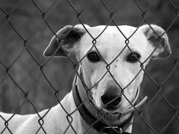 """spanische apportierhund """"galgo"""" - hunde aus dem tierheim stock-fotos und bilder"""