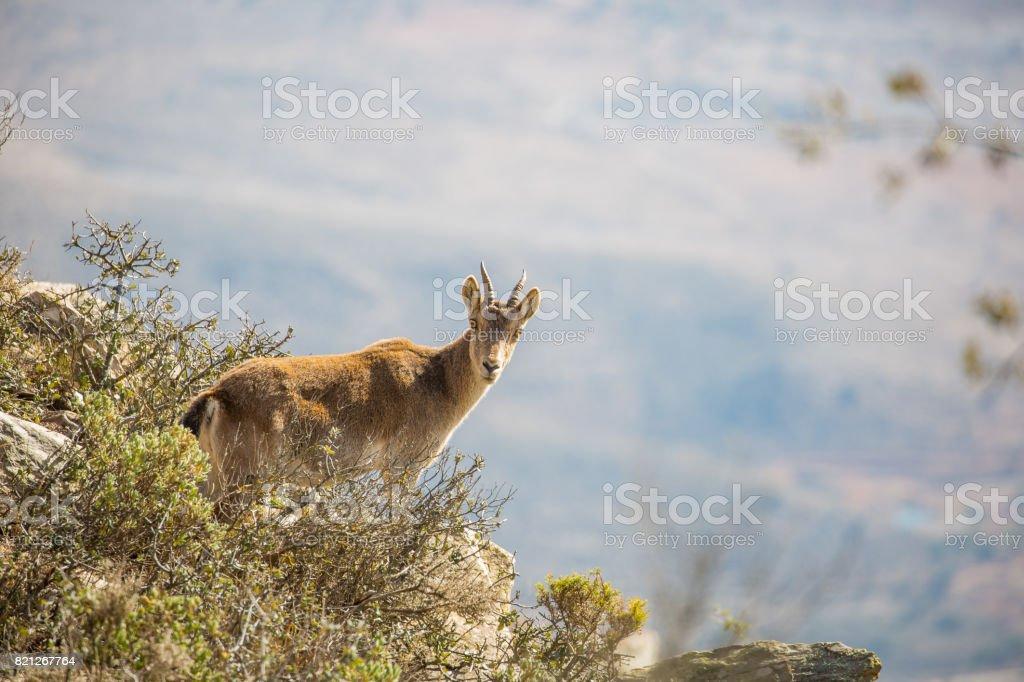Spanish Ibex standing on cliff edge stock photo