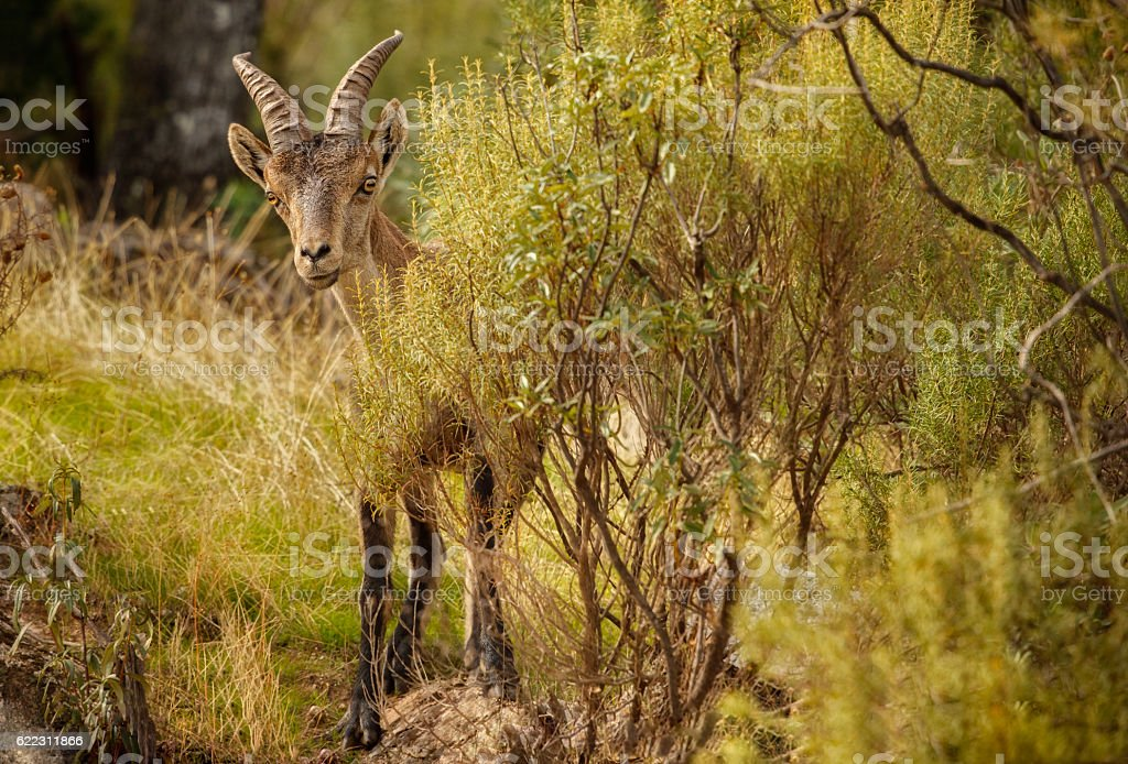 Spanish ibex young male in the nature habitat - Photo