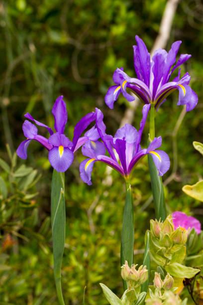 spanish iris (iris xiphium) - iris flower stock photos and pictures