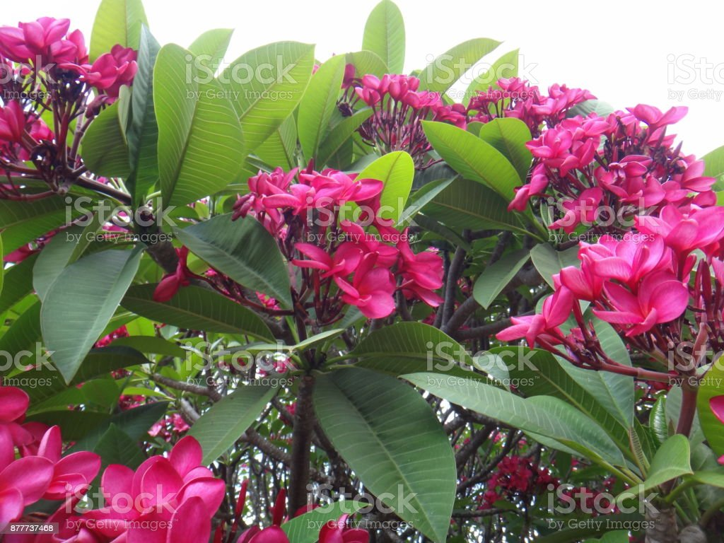 Spanish Jasmine Pink Flowers Stock Photo More Pictures Of