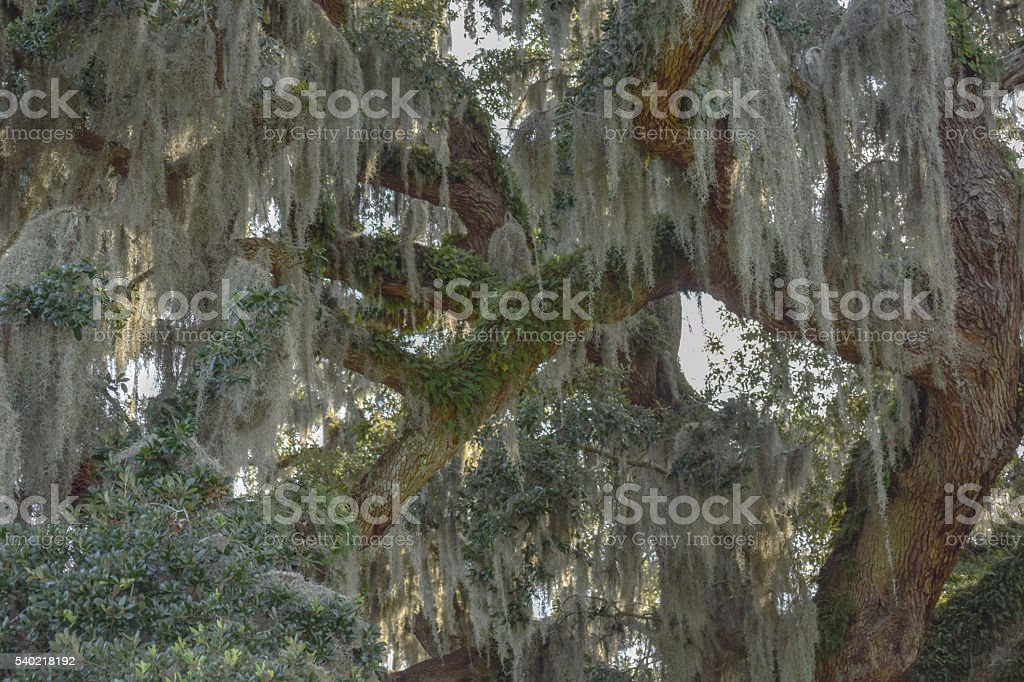 Spanish Moss and Fern Covered Live Oak Tree Branches stock photo