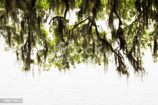 a picture of Spanish moss at the Magnolia plantation in Charleston South Carolina