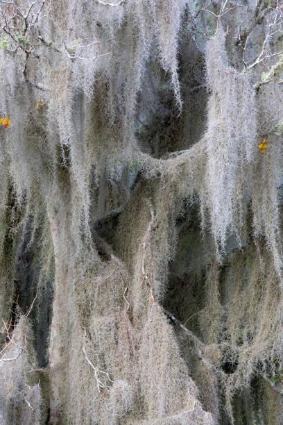 Spanische Moos bedeckt Baum. – Foto