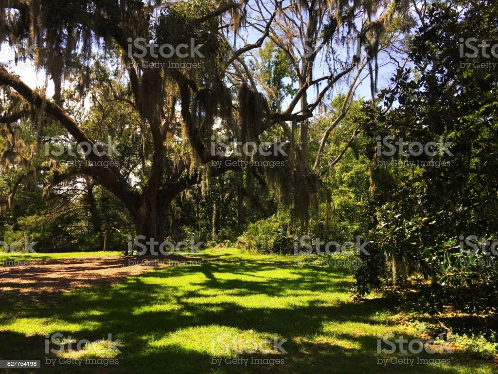 Spanish Moss hanging from tree in South Carolina Low Country stock photo