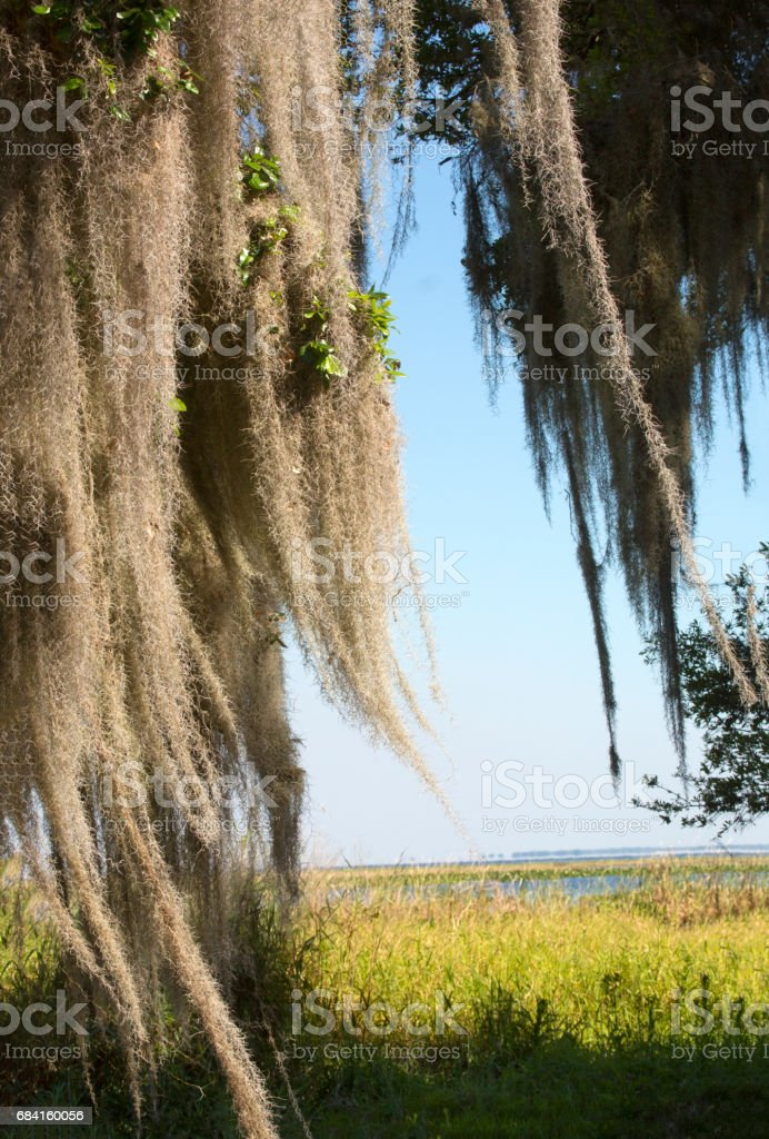 Spanish moss hanging from trees at Lake Kissimmee Park, Florida. photo libre de droits