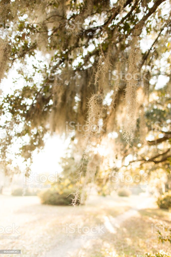 Spanish Moss on a tree in Charleston, South Carolina at sunset the...