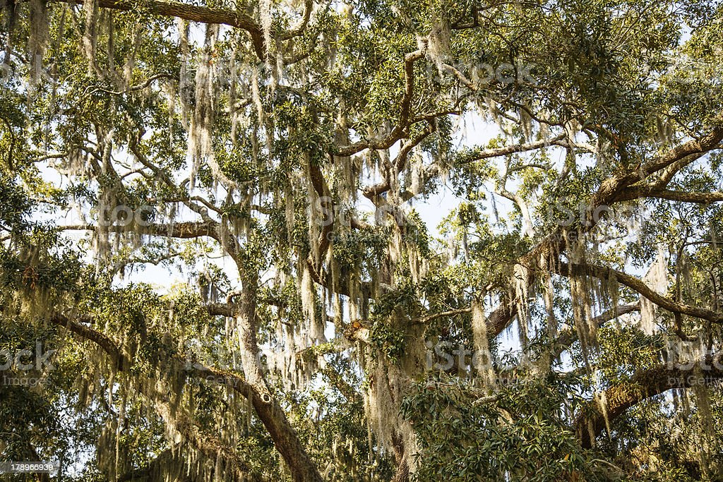 Spanish Moss in Oak and Magnolia Trees royalty-free stock photo