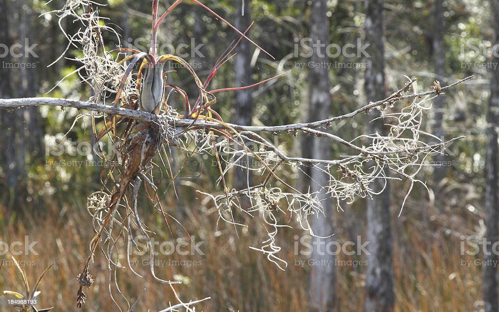 Spanish moss on cypress branch in wetlands royalty-free stock photo