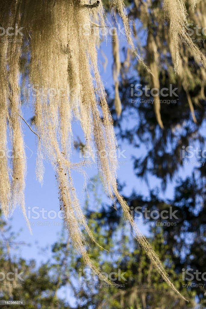 Spanish moss on the KilimanjaroMore images of same photographer in...