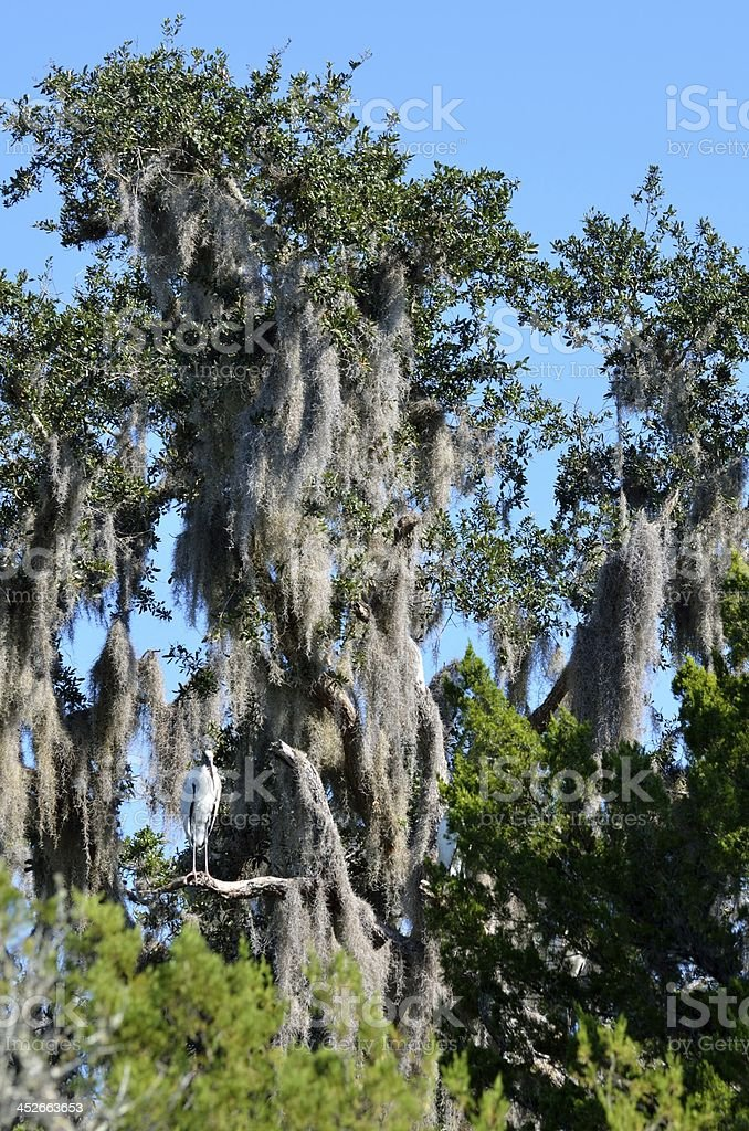 Spanish Moss on tree stock photo
