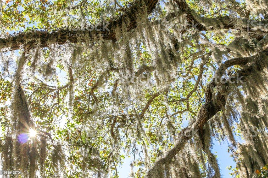 Spanish Moss Scenic stock photo