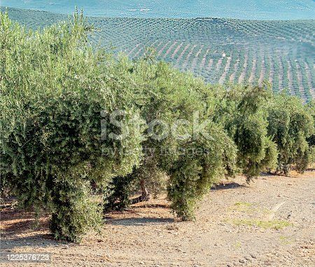 1135138312 istock photo Spanish olive trees 1225376723