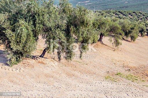 1135138312 istock photo Spanish olive trees 1225376762