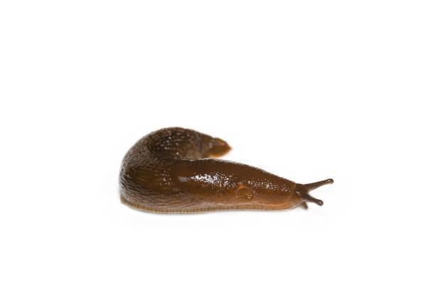 spanish slug (arion vulgaris) isolated on white background - ślimak gastropoda zdjęcia i obrazy z banku zdjęć