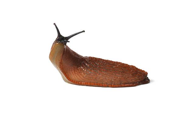 Spanish Slug stock photo