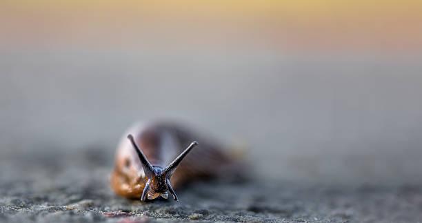 hiszpański slug - ślimak gastropoda zdjęcia i obrazy z banku zdjęć