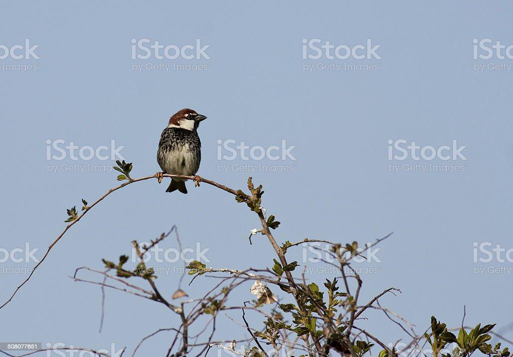 Spanish Sparrow stock photo