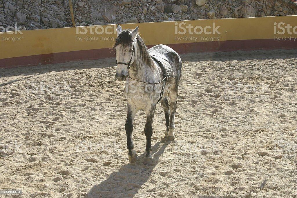 spanish stallion stock photo