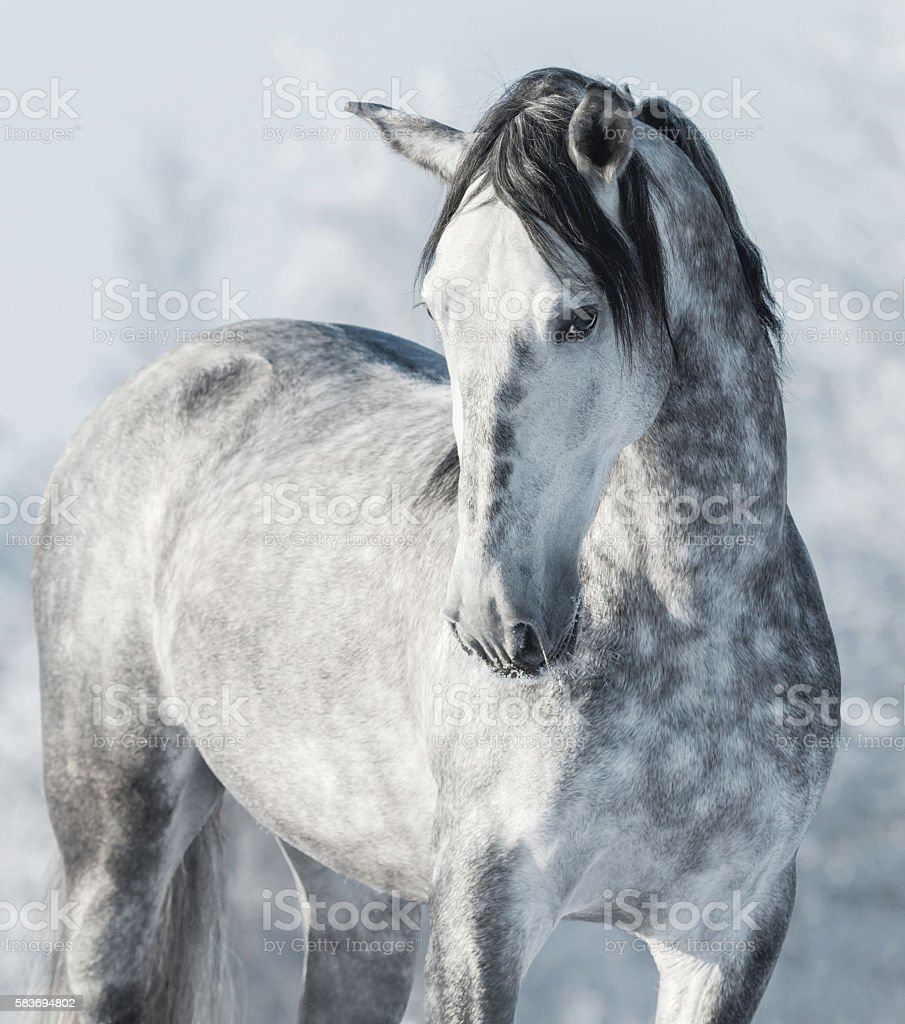 Spanish thoroughbred grey horse in winter forest. stock photo