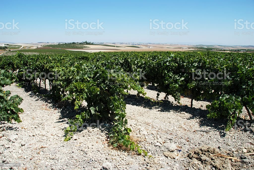 Spanish vineyard, Jerez de la Frontera. stock photo