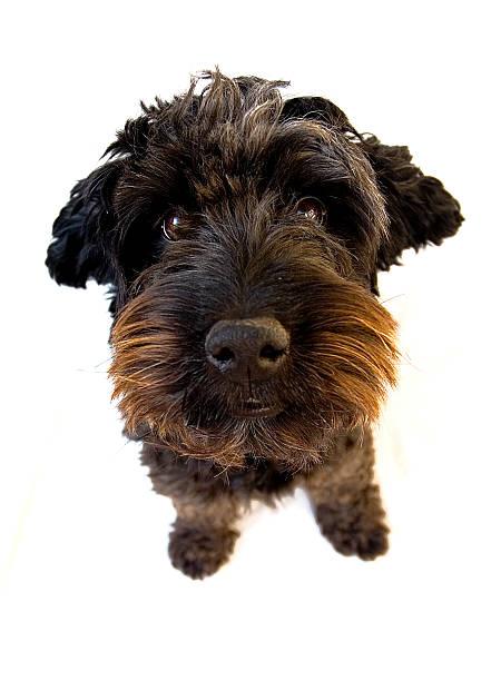 Spanische waterdog – Foto