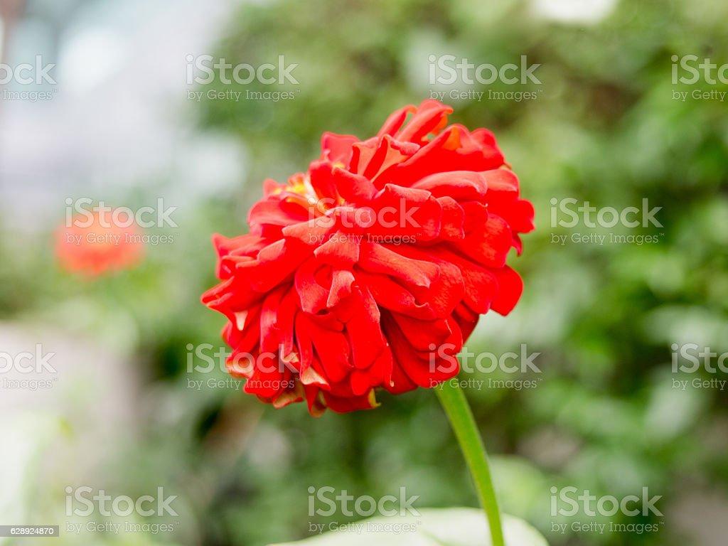 Sparkle beautiful red flower in the garden stock photo more sparkle beautiful red flower in the garden royalty free stock photo izmirmasajfo